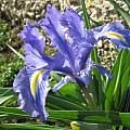 Iris planifolia 'white signal', Angelo Porcelli