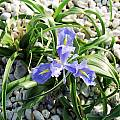 Iris planifolia, Rob Hamilton [Shift+click to enlarge, Click to go to wiki entry]