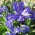 Iris planifolia 'dark blue', Angelo Porcelli