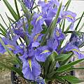 Iris planifolia 'classic form' in pot, Angelo Porcelli