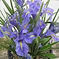 Iris planifolia 'classic form' in pot, Angelo Porcelli