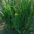 Iris pseudacorus, Janos Agoston