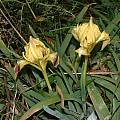 Iris pseudopumila, Angelo Porcelli [Shift+click to enlarge, Click to go to wiki entry]