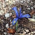Iris reticulata 'Kuh-e-Abr', Bob Nold [Shift+click to enlarge, Click to go to wiki entry]