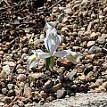 Iris reticulata 'Alba', Bob Nold [Shift+click to enlarge, Click to go to wiki entry]
