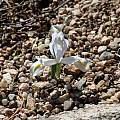 Iris reticulata 'Alba', Bob Nold [Shift+click to enlarge, Click to go to wiki entry]