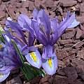 Iris reticulata (formerly I. hyrcana), John Lonsdale