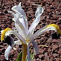 Iris rosenbachiana, John Lonsdale [Shift+click to enlarge, Click to go to wiki entry]