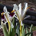 Iris rosenbachiana 'Harangon', John Lonsdale [Shift+click to enlarge, Click to go to wiki entry]
