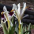 Iris rosenbachiana 'Harangon', John Lonsdale [Shift+click to enlarge, Click to go to wiki entry]