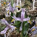 Iris rosenbachiana, Jim McKenney