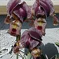 Iris sari, John Lonsdale