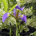 Iris setosa, John Lonsdale [Shift+click to enlarge, Click to go to wiki entry]