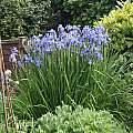 Iris sibirica, David Pilling