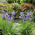 Iris sibirica 'Heavenly Blue', Bob Rutemoeller