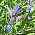 Iris sintenisii, Angelo Porcelli