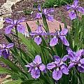 Iris tectorum, John Lonsdale