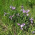 Iris tenax, Cowlitz County, Washington, Paul Raphael Zemanek
