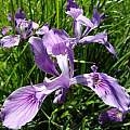 Iris tenax, Cowlitz County, Washington, Paul Zemanek