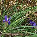 Iris unguicularis, Nhu Nguyen