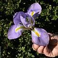 Iris unguicularis, Jim McKenney