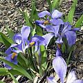 Iris verna, John Lonsdale