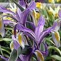 Iris vicaria, John Lonsdale