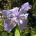 Iris wattii, UC Botanical Garden, Kelley Macdonald [Shift+click to enlarge, Click to go to wiki entry]