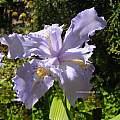 Iris wattii, UC Botanical Garden, Kelley Macdonald
