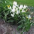 Iris willmottiana alba, Juno iris, Mark McDonough