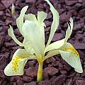 Iris winogradowii, John Lonsdale [Shift+click to enlarge, Click to go to wiki entry]