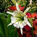 Hymenocallis × spofforthiae 'Sulphur Queen', Jim McKenney