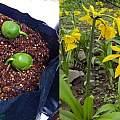 Ismene amancaes seeds, Norton Cuba