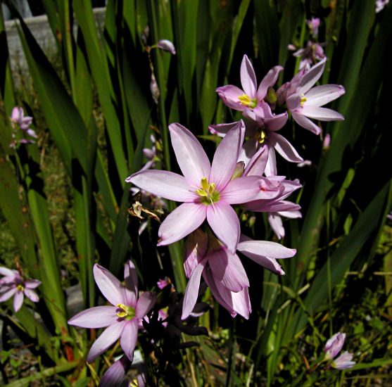 Pacific Bulb Society Ixia Two
