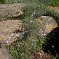 Ixia brunneobractea, Nieuwoudtville Reserve, Cameron McMaster