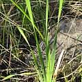 Ixia campanulata, douglaseustonbrown, iNaturalist, CC BY-NC