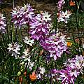 Ixia hybrids, Mary Sue Ittner