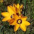 Ixia maculata, Darling, Cameron McMaster