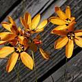 Ixia maculata, Mary Sue Ittner