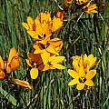 Ixia maculata, West Coast, Mary Sue Ittner