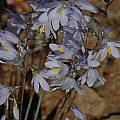 Ixia marginifolia, Bob Rutemoeller