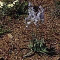 Ixia marginifolia, Mary Sue Ittner