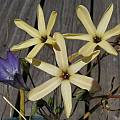 Ixia paniculata, Mary Sue Ittner