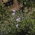 Ixia rapunculoides, Calvinia, Mary Sue Ittner