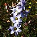 Ixia rapunculoides, Nieuwoudtville, Cameron McMaster