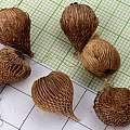 Ixia rapunculoides corms, M. Gastil-Buhl