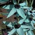 Ixia viridiflora var. viridiflora, Nhu Nguyen