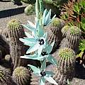 Ixia viridiflora, Kristina Van Wert