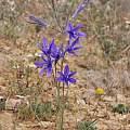 Ixiolirion tataricum among wildflowers, Gideon Pisanty