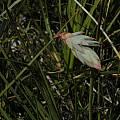 Johnsonia lupulina, William Bay, Mary Sue Ittner